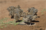 574470039 wild gambel's quail chicks callipepla gambelli forage along the ground in green valley arizona united states. Extensive coverage of a wide range of avian and other wildlife species, all identified by Latin name.