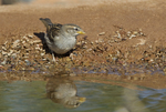 578800209 a wild juvenile house sparrow passer domesticus pauses for a drink at a small pond in green valley arizona. Extensive coverage of a wide range of avian and other wildlife species, all identified by Latin name.