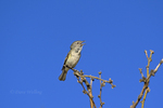 590460005 a wild bell's vireo vireo belli arizonae sings from a dead branch in the madera canyon grasslands area east of green valley arizona. Extensive coverage of a wide range of avian and other wildlife species, all identified by Latin name.