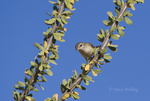 590460006 a wild bell's vireo vireo belli arizonae perches on an ocotillo plant in the madera canyon grasslands area east of green valley arizona. Extensive coverage of a wide range of avian and other wildlife species, all identified by Latin name.