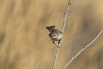 590460008 a wild bell's vireo vireo belli arizonae perches on a dead branch in the madera canyon grasslands area east of green valley arizona. Extensive coverage of a wide range of avian and other wildlife species, all identified by Latin name.