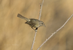 590460010 a wild bell's vireo vireo belli arizonae perches on a dead branch in the madera canyon grasslands area east of green valley arizona. Extensive coverage of a wide range of avian and other wildlife species, all identified by Latin name.