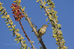 590460011 a wild bell's vireo vireo belli arizonae perches on an ocotillo plant in the madera canyon grasslands area east of green valley arizona. Extensive coverage of a wide range of avian and other wildlife species, all identified by Latin name.