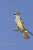 530060005 a wild ash-throated flycatcher myiarchus cinerascens perches on a branch in the madera grasslands green valley arizona. Extensive coverage of a wide range of avian and other wildlife species, all identified by Latin name.