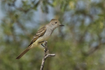 530060006 a wild ash-throated flycatcher myiarchus cinerascens perches on a branch in the madera grasslands green valley arizona. Extensive coverage of a wide range of avian and other wildlife species, all identified by Latin name.