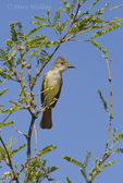 530060007 a wild ash-throated flycatcher myiarchus cinerascens perches on a branch in the madera grasslands green valley arizona. Extensive coverage of a wide range of avian and other wildlife species, all identified by Latin name.