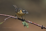 538660011 a wild male  black-headed grosbeak pheucticus melanocephalus perches on a branch in madera canyon green valley arizona. Extensive coverage of a wide range of avian and other wildlife species, all identified by Latin name.