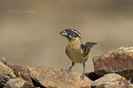 538660012 a wild male  black-headed grosbeak pheucticus melanocephalus perches on a rock in madera canyon green valley arizona. Extensive coverage of a wide range of avian and other wildlife species, all identified by Latin name.