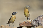 538660014 a pair of wild  black-headed grosbeaks pheucticus melanocephalus perches on a rock in madera canyon green valley arizona. Extensive coverage of a wide range of avian and other wildlife species, all identified by Latin name.