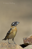 538660015 a wild male  black-headed grosbeak pheucticus melanocephalus perches on a rock in madera canyon green valley arizona. Extensive coverage of a wide range of avian and other wildlife species, all identified by Latin name.