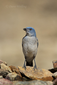551130013 a wild  mexican jay alphelocoma wollweberi perches on a rock in madera canyon green valley arizona united states. Extensive coverage of a wide range of avian and other wildlife species, all identified by Latin name.