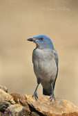 551130014 a wild  mexican jay alphelocoma wollweberi perches on a rock in madera canyon green valley arizona united states. Extensive coverage of a wide range of avian and other wildlife species, all identified by Latin name.