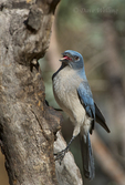 551130016 a wild  mexican jay alphelocoma wollweberi perches on a tree limb in madera canyon green valley arizona united states. Extensive coverage of a wide range of avian and other wildlife species, all identified by Latin name.