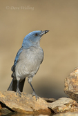 551130017 a wild  mexican jay alphelocoma wollweberi perches on a rock in madera canyon green valley arizona united states. Extensive coverage of a wide range of avian and other wildlife species, all identified by Latin name.