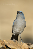 551130018 a wild  mexican jay alphelocoma wollweberi perches on a rock in madera canyon green valley arizona united states. Extensive coverage of a wide range of avian and other wildlife species, all identified by Latin name.