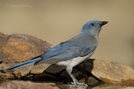 551130020 a wild  mexican jay alphelocoma wollweberi perches on a rock in madera canyon green valley arizona united states. Extensive coverage of a wide range of avian and other wildlife species, all identified by Latin name.