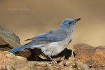 551130021 a wild  mexican jay alphelocoma wollweberi perches on a rock in madera canyon green valley arizona united states. Extensive coverage of a wide range of avian and other wildlife species, all identified by Latin name.