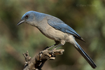 551130022 a wild  mexican jay alphelocoma wollweberi perches on a branch in madera canyon green valley arizona united states. Extensive coverage of a wide range of avian and other wildlife species, all identified by Latin name.