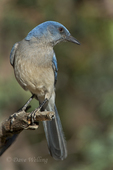 551130023 a wild  mexican jay alphelocoma wollweberi perches on a branch in madera canyon green valley arizona united states. Extensive coverage of a wide range of avian and other wildlife species, all identified by Latin name.