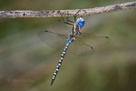 339360027 a wild male blue-eyed darner dragonlfy rhionaeschna multicolor perches on a small tree limb in the shade at five mile landing in topock marsh havasu national wildlife refuge arizona united states. Extensive coverage of a wide range of insect and other wildlife species, all identified by Latin name.