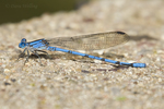 338650001 a wild male sierra madre dancer damselfly argia lacrimans perches on a concrete table in garden canyon fort huachuca cochise county arizona united states. Extensive coverage of a wide range of insect and other wildlife species, all identified by Latin name.