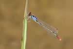 337850010 a wild adult male painted damsel hesperagrion heterodoxum perches on a water plant leaf on the membis river near royal john mine road grant county new mexico united states  GPS:N 32.73066          W -107.86653. Extensive coverage of a wide range of insect and other wildlife species, all identified by Latin name.