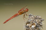 389310012 a wild male flame skimmer dragonfly libellula saturata perches on a dead cholla cactus plant near empire creek las cienegas natural conservation area pima county arizona united states. Extensive coverage of a wide range of insect and other wildlife species, all identified by Latin name.