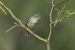 584750006 a wild northern beardless tyrannulet camptostoma imberbe perches on a mesquite branch in the madera grasslands green valley arizona united states. Extensive coverage of a wide range of avian and other wildlife species, all identified by Latin name.