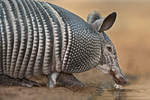 605500038 a wild nine-banded armadillo dasypus novemcintus drinks at a small pond on santa clara ranch hidalgo county rio grande valley texas united states. Extensive coverage of a wide range of mammal and other wildlife species, all identified by Latin name.