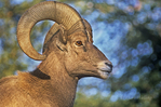 678503005 portrait of a captive bighorn sheep ram ovis canadensis at the los angeles zoo california. Extensive coverage of a wide range of mammal and other wildlife species, all identified by Latin name.