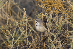 578830006 a wild sage sparrow amphispiza belli nevadensis perches on a sagebrush plant stem in kern county  california. Extensive coverage of a wide range of avian and other wildlife species, all identified by Latin name.