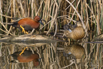 581370010 a wild male  and female cinnamon teal anas cyanoptera at colusa national wildlife refuge califonia. Extensive coverage of a wide range of avian and other wildlife species, all identified by Latin name.