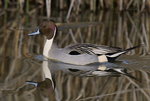 571350004 a wild drake northern pintail swims anas acuta swims in a shallow pond at colusa national wildlife refuge califonia. Extensive coverage of a wide range of avian and other wildlife species, all identified by Latin name.