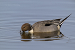 571350008 a wild drake northern pintail anas acuta swims in a shallow pond at colusa national wildlife refuge califonia. Extensive coverage of a wide range of avian and other wildlife species, all identified by Latin name.