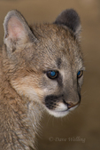 656320005 a captive wildlife rescue mountain lion cub female zuni felis concolor at the wildlife waystation wildlife recovery and care facility in southern california. Extensive coverage of a wide range of mammal and other wildlife species, all identified by Latin name.
