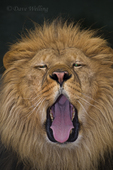 656250005 a captive male african lion panthera leo bolero at the wildlife waystation wildlife recovery and care facility in southern california. Extensive coverage of a wide range of mammal and other wildlife species, all identified by Latin name.