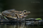 428008036 Rio Grande Leopard Frog Rana berlandieri WILD Perched on Log in Pond Rio Grande Valley, Texas. Extensive coverage of a wide range of reptile, amphibian and other wildlife species, all identified by Latin name.