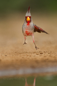 573900058 a wild male pyrrhuloxia cardinalis sinatus takes flight from a small pond on santa clara ranch starr county texas united states. Extensive coverage of a wide range of avian and other wildlife species, all identified by Latin name.