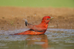 580980030 a wild male summer tanager pitanga rubra bathes in a small pond at laguna seca ranch in the rio grande valley of south texas. Extensive coverage of a wide range of avian and other wildlife species, all identified by Latin name.