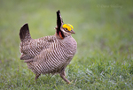 572110183 a wild lesser prairie chicken tympanuchus pallidicintus displays and struts on a lek on a remote ranch near canadian in the texas panhandle. Extensive coverage of a wide range of avian and other wildlife species, all identified by Latin name.