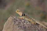 414390002 a wild male great basin or desert collared lizard crotaphytus insularis bicinctores sits on a rock outcrop in redding canyon in owens valley inyo county california united states. Extensive coverage of a wide range of reptile, amphibian and other wildlife species, all identified by Latin name. 