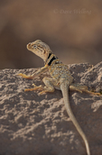 414390003 a wild male great basin or desert collared lizard crotaphytus insularis bicinctores sits on a rock outcrop in redding canyon in owens valley inyo county california united states. Extensive coverage of a wide range of reptile, amphibian and other wildlife species, all identified by Latin name. 