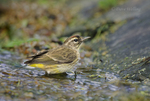 592230003 a wild breeding plumage adult of the western race of palm warbler setophaga palmarum stands in a small stream on south padre island cameron county texas united states. Extensive coverage of a wide range of avian and other wildlife species, all identified by Latin name.