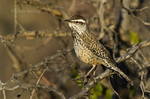 598060047 a wild cactus wren campylorhynchus brunniecepillus perches in a mesquite tree in montosa canyon near green vally arizona united states. Extensive coverage of a wide range of avian and other wildlife species, all identified by Latin name.