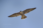 527950042 a wild federally endangered juvenile peregrine falcon falco peregrinus soars over a cliff face along the pacific ocean at torrey pines state preserve la jolla california. Extensive coverage of a wide range of avian and other wildlife species, all identified by Latin name.