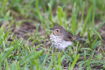 582030015 a wild swainsons thrush catharus ustulatus songbird in tall grass on south padre island texas united states. Extensive coverage of a wide range of avian and other wildlife species, all identified by Latin name.