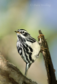591350015 a wild black-and-white warbler mniolita varia perches in a mesquite tree on south padre island cameron county texas united states. Extensive coverage of a wide range of avian and other wildlife species, all identified by Latin name.