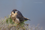 527950045 a wild federally endangered juvenile peregrine falcon falco peregrinus perches on a cliff face along the pacific ocean at torrey pines state preserve la jolla california. Extensive coverage of a wide range of avian and other wildlife species, all identified by Latin name.
