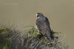 527950046 a wild federally endangered juvenile peregrine falcon falco peregrinus perches on a cliff face along the pacific ocean at torrey pines state preserve la jolla california. Extensive coverage of a wide range of avian and other wildlife species, all identified by Latin name.