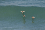 570000002 wild federally endangered brown pelicans pelecanus occidentalis soar over the breaking surf of the pacific ocean at torrey pines state preserve la jolla california. Extensive coverage of a wide range of avian and other wildlife species, all identified by Latin name.